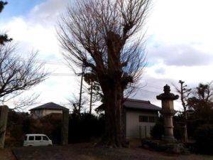 高須別院大銀杏