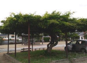 三河別院藤棚